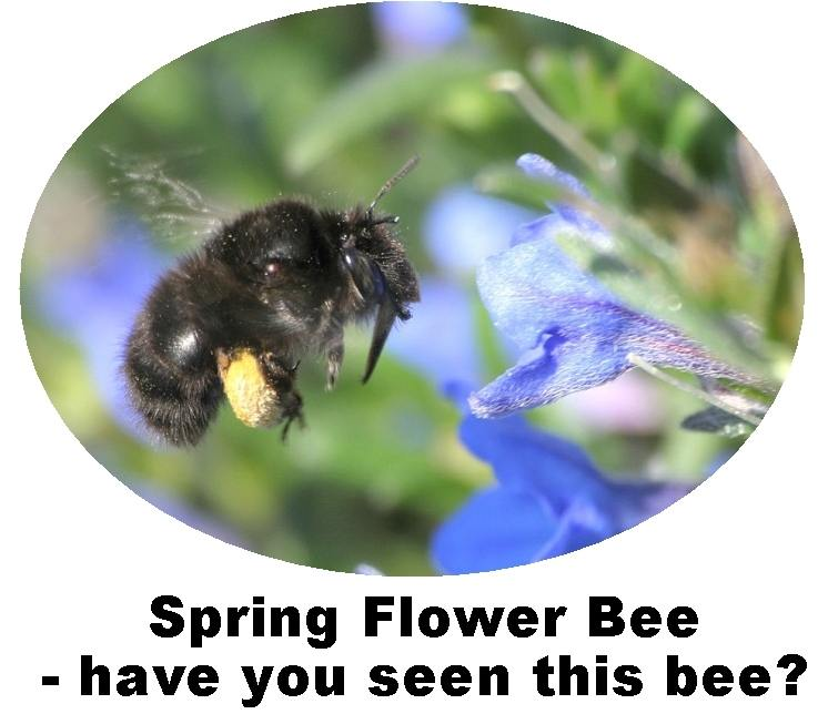 Record Spring Flower Bee Anthophora plumipes