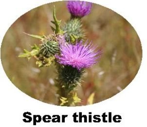 Record Spear Thistle