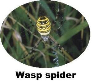 Record Wasp Spider